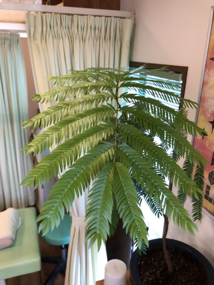 前橋市のひかり接骨院内の植物